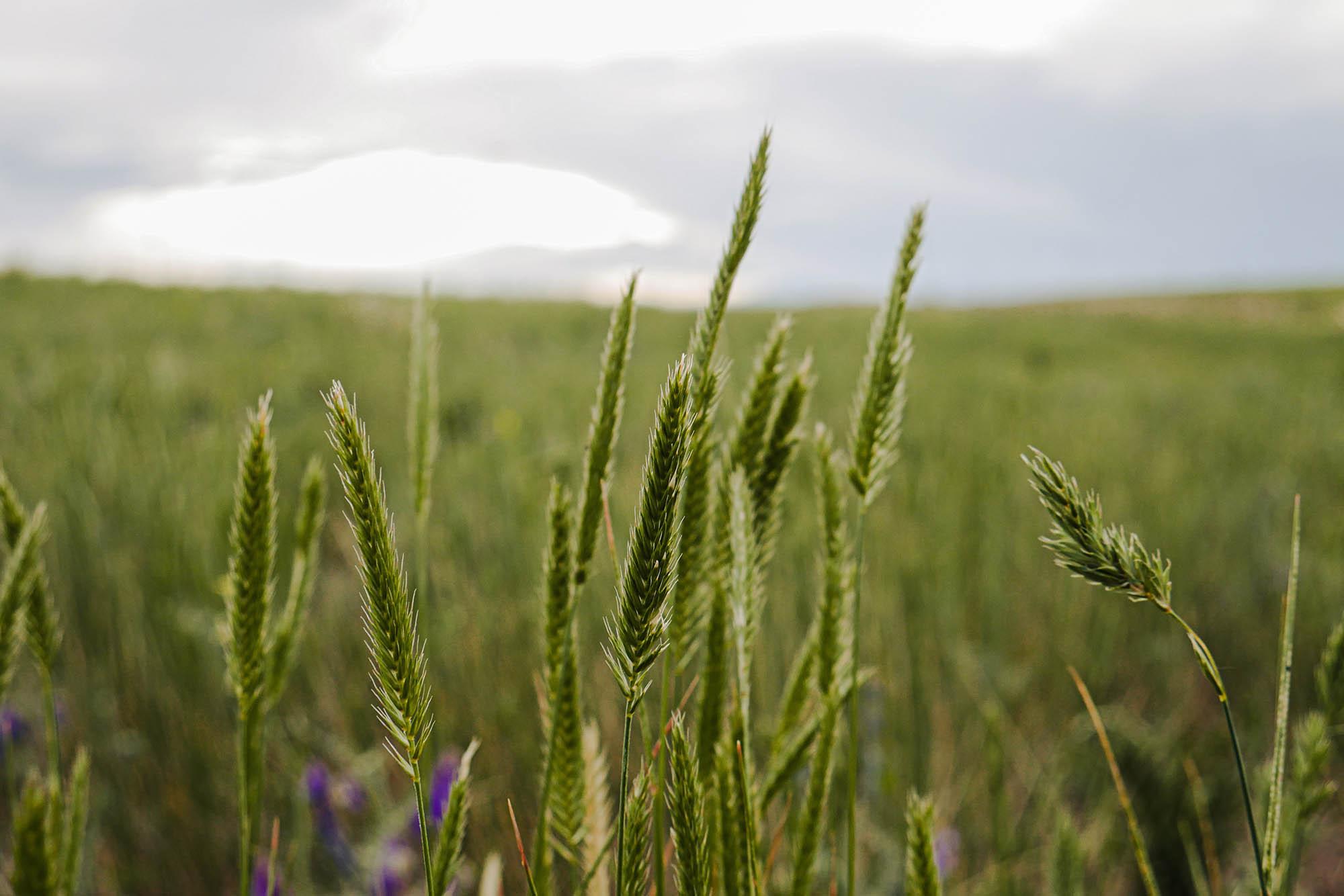 image of wheat by Matthew Bornhorst | Unsplash